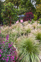 Stipa tenuissima, Silky Thread Grass, Mexican Feather Grass, meadow lawn substitute in <br /> Habets garden, Pleasant Hill, California with Clarkia wildflowers