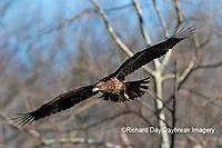 00807-03810 Bald Eagle (Haliaeetus lecocephalus) immature in flight Clinton Co. IL