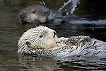 Adult and juvenile California sea otter, Enhydra lutris, Monterey, CA. USA.