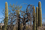 Tucson, Arizona; Saguaro cactus and Palo Verde trees standing in early morning sunlight against a blue sky