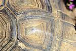 Carapace Of Desert Tortoise