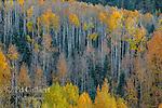 Aspen, Populus Tremula, Dallas Divide, Uncompahgre National Forest, Colorado