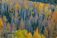 Aspen, Populus Tremula, Dallas Divide, Uncompahgre National Forest, Colorado