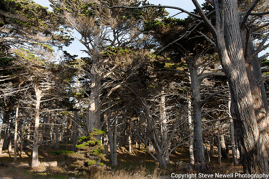 """17 Mile Cypress"" 17 Mile Dr in Pebble Beach, California.The Cypress Trees located on 17 Mile Drive in Pebble Beach along the Coast of the Pacific Ocean are impressive to say the least."