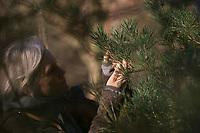 Ernte von Kiefernnadeln und Kieferknospen für Räucherung, Nadeln, Knospen, Wald-Kiefer, Waldkiefer, Gemeine Kiefer, Kiefer, Kiefern, Föhre, Blüte, Blüten, Pinus sylvestris, Scots Pine, Pine, Pines, Le Pin sylvestre