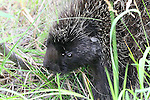 IMAGES OF THE YUKON,CANADA , WILDLIFE , PORCUPINE,