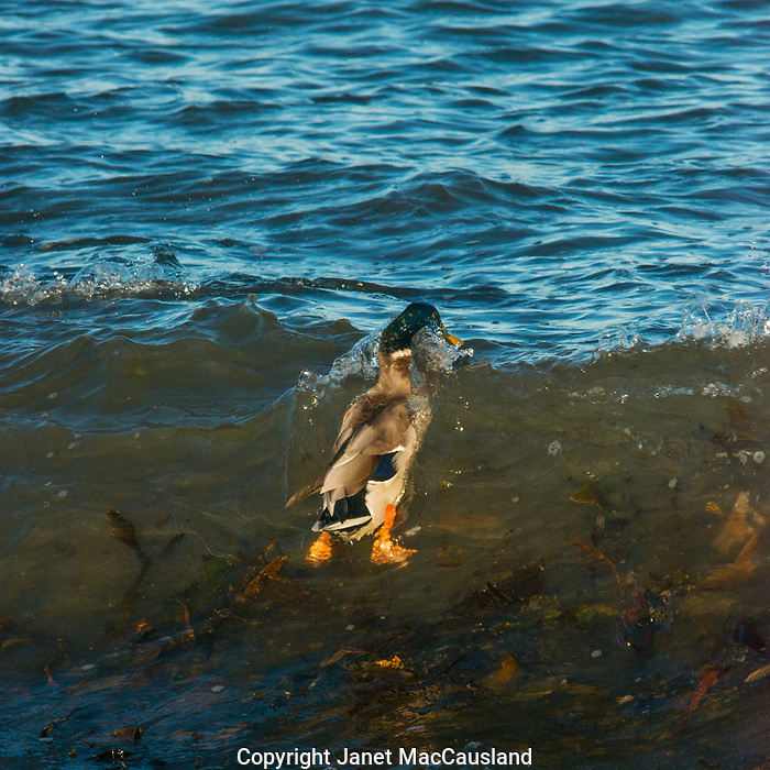 Often considered a bird of quiet ponds, this unusual Mallard Duck surfs the rough waves of the Maine coastline nibbling on sea lice and other small animals in the waves.