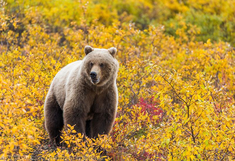 Grizzly bear in yellow willows, Seward Peninsula, Alaska.