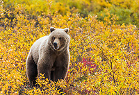 Grizzly bear in yellow willows, Seward Peninsula, Alaska.
