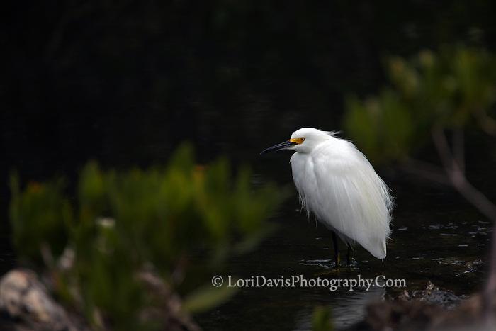 Snowy Egret #E31