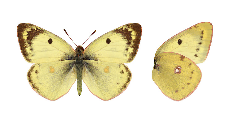 Pale Clouded Yellow - Colias hyale