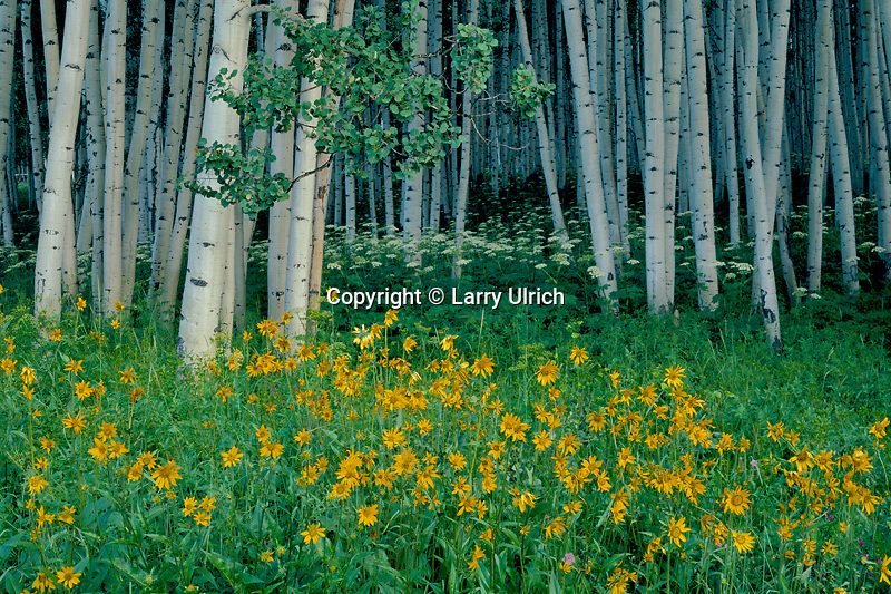Little sunflower and aspen<br /> Ohio Pass Road<br /> West Elk Mountains<br /> Gunnison National Forest,  Colorado