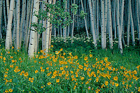 Little sunflower and aspen<br />
