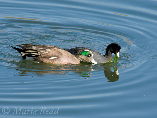 Commensalism: American Wigeon (Anas americana), male foraging alongside American Coot (Fulica americana), Bolsa Chica Ecological Reserve, California, USA. The wigeon is stealing the water weed that the coot brings to the water's surface.
