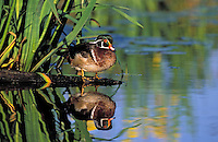 Wood Duck drake..British Columbia, Canada..(Aix sponsa).