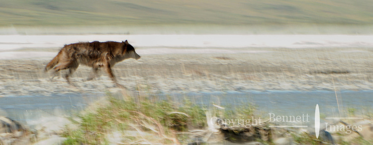 A wolf trots along the Hulahula River, which runs through Alaska's Brooks Range and the Coastal Plain in the Arctic National Wildlife Refuge.