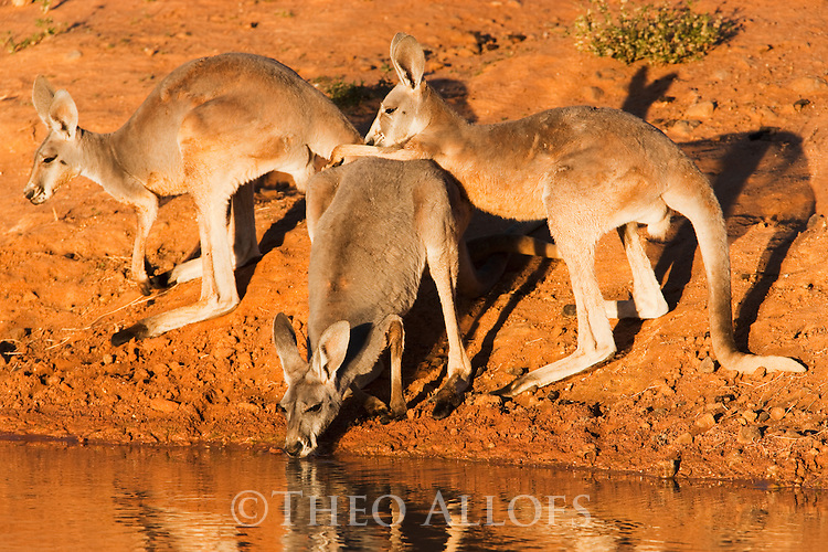 Australia,  NSW, Sturt National Park; red kangaroos drinking at water hole (Macropus rufus); the red kangaroo population increased dramatically after the recent rains in the previous 3 years following 8 years of drought