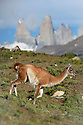 Adult guanaco (Lama guanicoe) running with famous 'towers' in the background. Torres del Paine National Park, Patagonia, Chile.