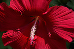 Beautiful Dinner Plate Hibiscus at Phipps Conservatory in Pittsburgh.