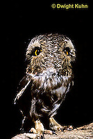 OW12-001z  Saw-whet owl - double exposure showing ability to turn head - Aegolius acadicus