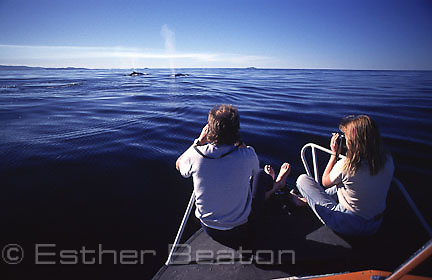 "Researchers observing two Humpback Whales ""blowing"" from deck of small boat. Coff's Harbour, New South Wales. Endangered Species"