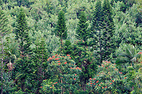 ha, Hawaii, island, kauai, tropical, tropical island,norfolk island pine,norfolk pine,african tulip tree,trees,forest,tropical forest,pine trees,rainforest