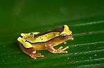 Clown Treefrog (Hyla leucophyllata) in Peruvian Amazon