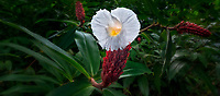 Close up of Spiral Flag (Costus Speciousus) flower. Hoomaluhia Botanical Garden, Oahu, Hawaii