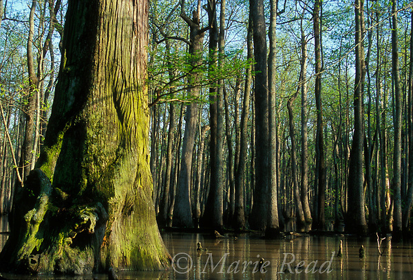 Bottomland hardwood forest, Arkansas. Bald cypress (foreground) and tupelo, in flooded forest during early spring. Bayou De View, near Cotton Plant, Arkansas, USA.<br />