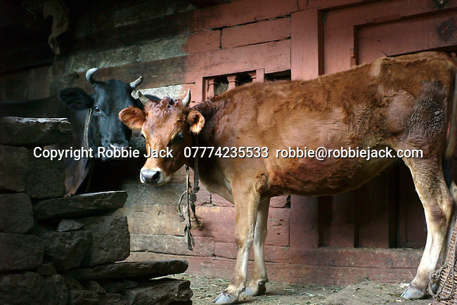 Two cows in Vashisht, Himachal Pradesh, India.