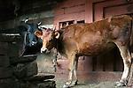 Two cows in Vashisht, Himachal Pradesh, India.