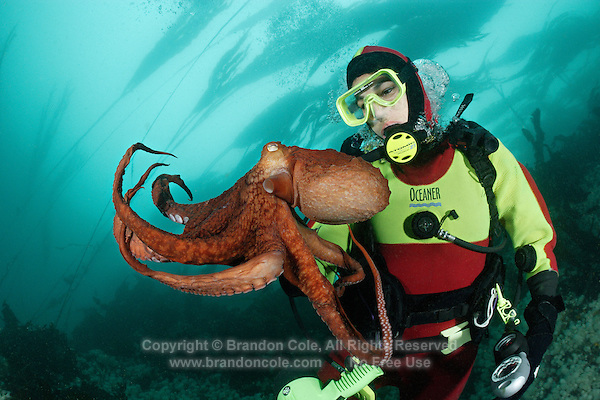 pp0110-D. Pacific Giant Octopus (Enteroctopus dofleini) interacts with scuba diver (Model Released). British Columbia, Canada, Pacific Ocean..Photo Copyright © Brandon Cole. All rights reserved worldwide.  www.brandoncole.com..This photo is NOT free. It is NOT in the public domain. This photo is a Copyrighted Work, registered with the US Copyright Office. .Rights to reproduction of photograph granted only upon payment in full of agreed upon licensing fee. Any use of this photo prior to such payment is an infringement of copyright and punishable by fines up to  $150,000 USD...Brandon Cole.MARINE PHOTOGRAPHY.http://www.brandoncole.com.email: brandoncole@msn.com.4917 N. Boeing Rd..Spokane Valley, WA  99206  USA.tel: 509-535-3489