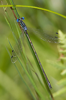 Slender Spreadwing (Lestes rectangularis) Damselfly - Teneral Male, Ward Pound Ridge Reservation, Cross River, Westchester County, New York