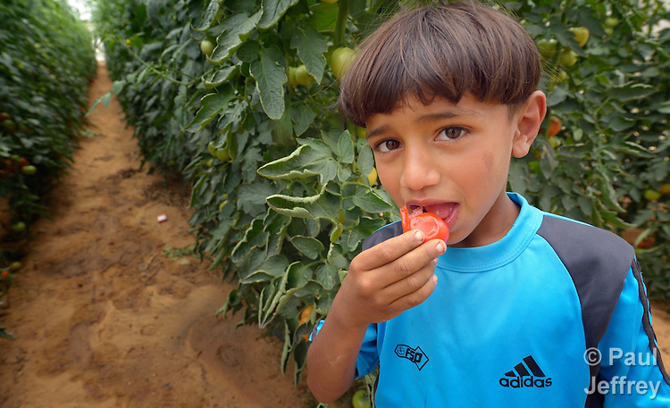 Eight-year old Awad Samy Khater eats a tomato in his family's greenhouse in Al Fukari, Gaza. The family grows crops in several greenhouses, using water from a rain water catchment system to fill a giant pond. That water is mixed with increasingly saline groundwater from a well. The system allows them to produce a greater quantity of more lucrative crops, at greater profit because they have to buy less water. The boy's family received assistance in building the system from Diakonie Katastrophenhilfe, a member of the ACT Alliance. In the wake of the devastating 2014 war, ACT Alliance members are supporting health care, vocational training, rehabilitation of housing and water systems, psycho-social care, and other humanitarian actions throughout the besieged Palestinian territory. Quality water is growing increasingly scarce in Gaza, as Israel drains the underground aquifer for its own development, pulling salt water into the aquifer from the west.<br /> <br /> Parental consent obtained.