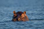 Common Hippopotamus (Hippopotamus amphibius), Kafue River, Kafue National Park, Zambia