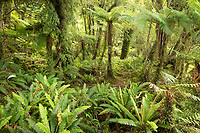Native rainforest with tree ferns and blechnum ferns in South Westland, UNESCO World Heritage Area, South Island, New Zealand, NZ