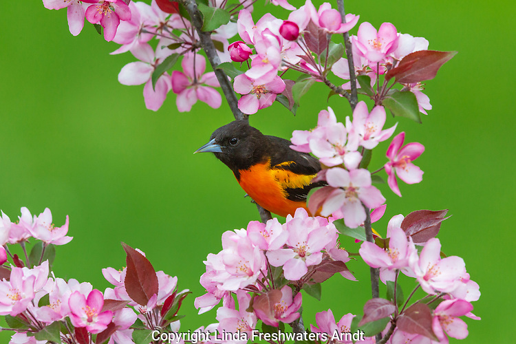 Male Baltimore oriole perched in a flowering crabapple tree.