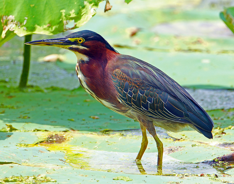 Adult green heron standing on lily pad
