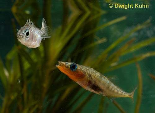1S47-547z Threespine Stickleback, male courting gravid female with a zigzag dance, she responds with a head-up posture to display her swollen belly, Gasterosteus aculeatus
