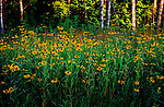 A field of wild Black-eyed Susans in northern Wisconsin.