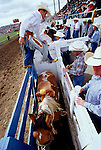 A cowboy getting ready to mount his bucking bronco at the Pendleton Round-Up