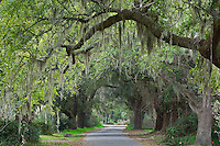 Roadway beneath Live Oaks draped in Spanish Moss, near Charleston, South Carolina