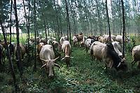 Borana cows grazing in a Casualina Tree Woodlot