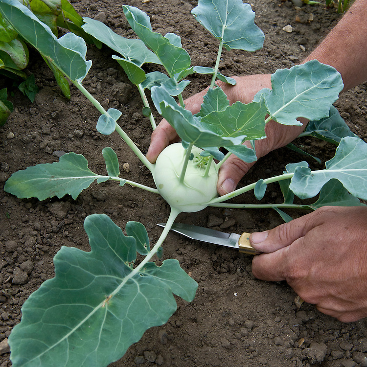 Harvest kohl rabi by slicing them off at the root with a sharp knife, mid July.