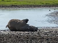 Southern White Rhinoceros, Ceratotherium simum simum, cools off by rolling in mud at the edge of a pond in Lake Nakuru National Park, Kenya