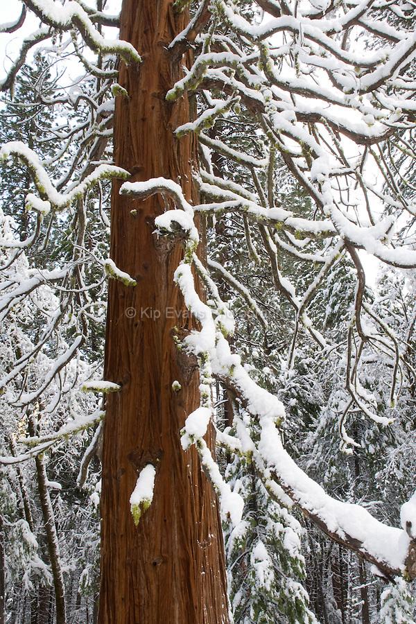 Giant Sequoia Tree (Sequoiadendron giganteum) during winter, Yosemite National Park.