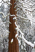 Giant Sequoia Tree (Sequoiadendron giganteum) during winter, Yosemite National Park.