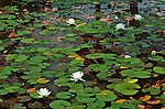 White lily blooms spring up from green lilypads in shallow water.
