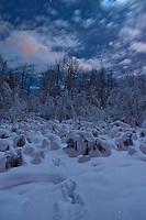 Fox tracks leading into a stand of cottonwood, Alaska.
