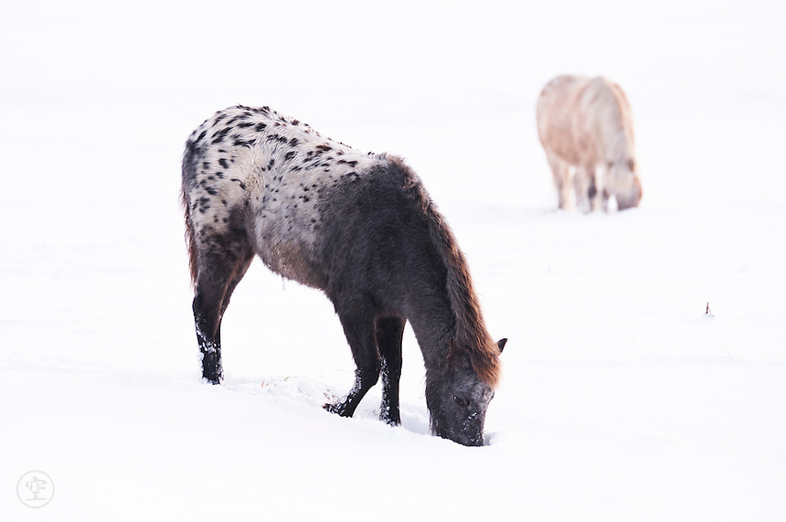 Ponies foraging in the winter snow on Wolvercote Common, Oxford, UK.